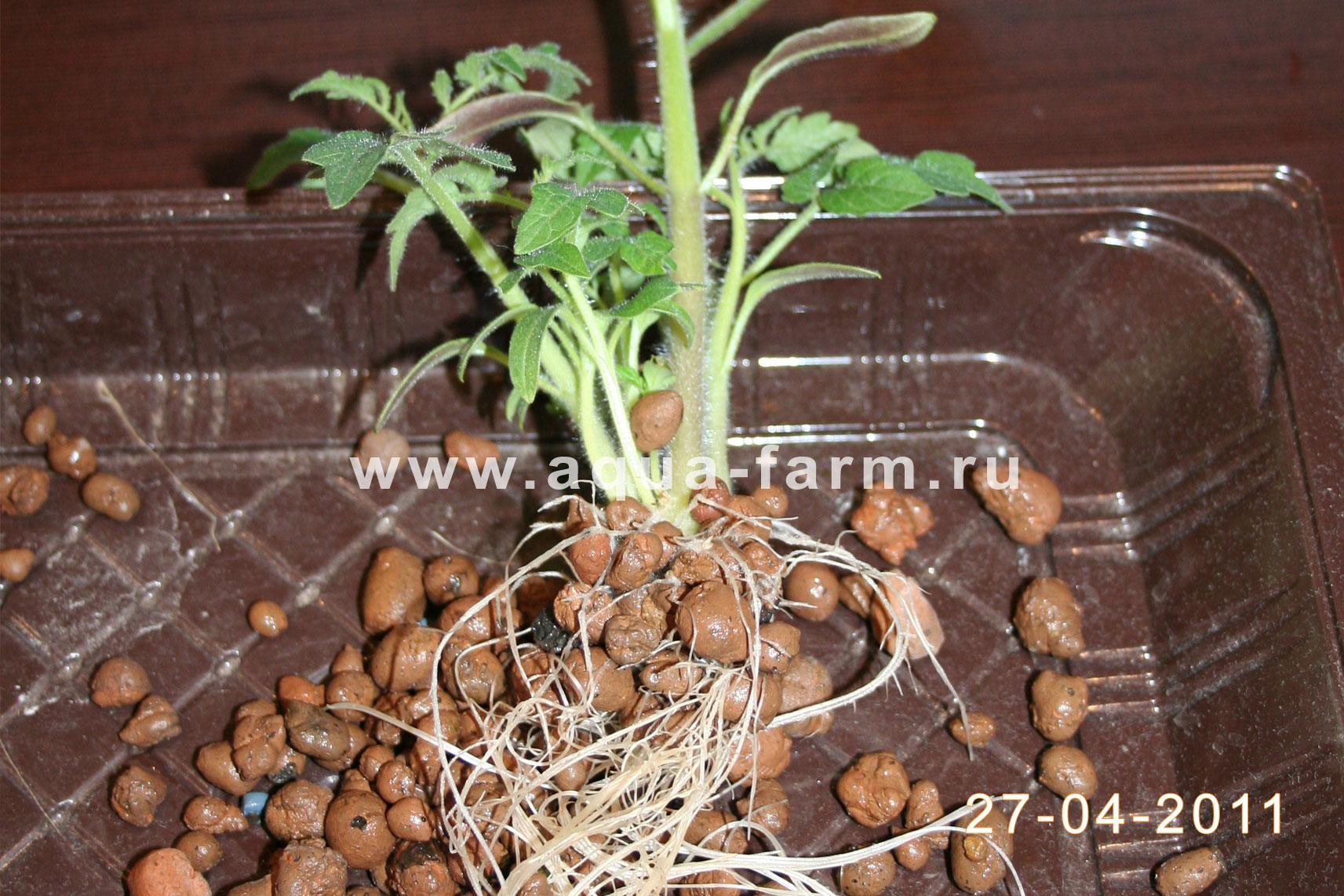 Что такое пикировка рассады помидоров фото